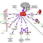 важные гормоны в организме